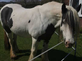 Part loan 14.3 Blue eyed Cob - with financial contribution