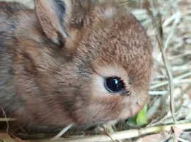Pure bred netherland dwarf chestnut doe