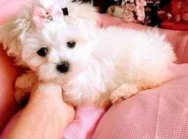 Heart of a gold Maltese puppies