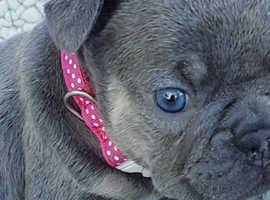 French bulldogs lilac & tan and blue & tan