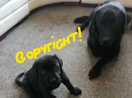 LAST ONE LEFT!!    Pure bred lab pups for sale