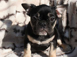 French bull dog ready now