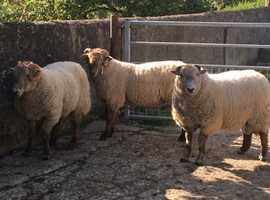 Hill Radnor Yearling Rams