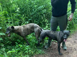 Bullx lurcher pups