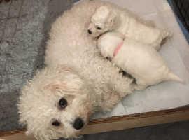 Beautiful fluffy Bichon puppies