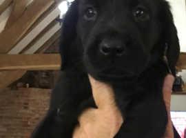 Vizslador Labrador x Vizsla puppies