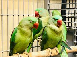 Baby Axendrain parrot