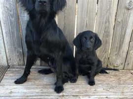 flat coated retriever pups