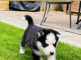 Beautiful Siberian husky's with blue eyes