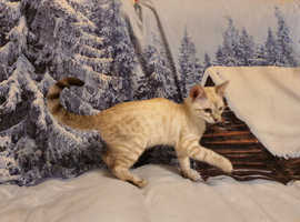 *Stunning Snow Bengals kittens* (now ready!!)