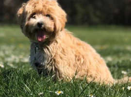 Apricot Maltipoo puppy wanted for a loving home