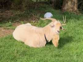 Friendly Billy goat looking forever home