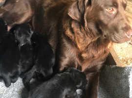 Labrador cross golden retriever puppies