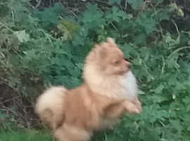Pomeranian girl 6months old not neuted,,reduced ,,,,,,