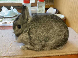 Chinchilla doe 7 month old