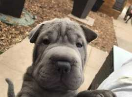 Blue sharpei puppies for sale