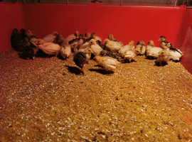 Ready to leave now Chinese painted button quails for sale