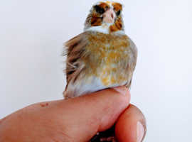 One male goldfinch crested mule for sale