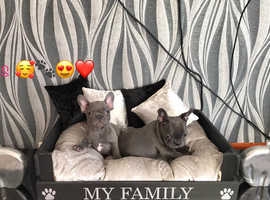 GORGEOUS blue french bulldog pups at affordable price