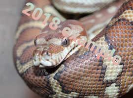 Beautiful Bredls pythons