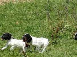 K.C English Springer Spaniel Puppies
