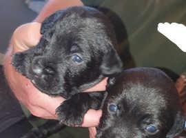 1 Male Patterdale Terrier Pup