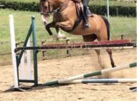 DIVA 15.3 9 year old mare