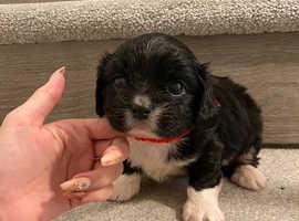 Lasha apso last boy puppy