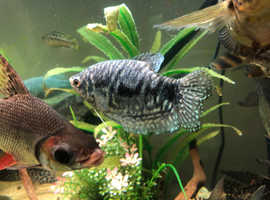 3 Gourami's Golden, Blue & Opaline