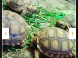 Baby sulcata Tortoises forcsake