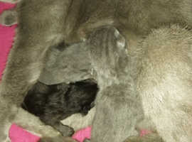 Russian blue x kittens