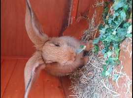 gorgeous flemish giant rabbits