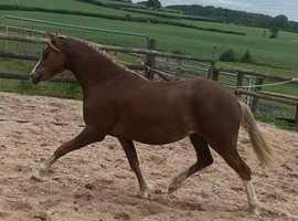 Welsh Pony Section B Chesnut Mare