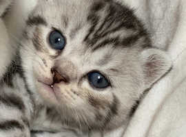 Scottish Fold Cats & Kittens For Sale & Rehome in Carlisle | Find