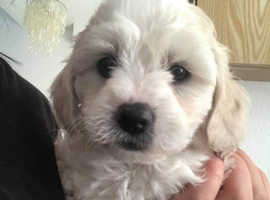 STUNNING  LITTER OF CAVAPOOCHON PUPPIES FOR SALE 1 GIRL ONE BOY LEFT READY FOR FOREVER HOMES NOW