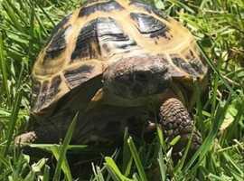 Horse field tortoise