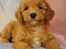 WANTED! female bichon frise pup