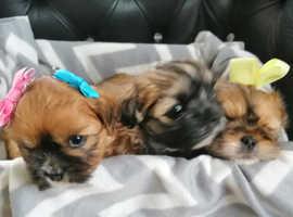 Shih tzu x chihuahua puppies