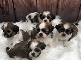 Adorable shihpoo puppies fully vaccinated and ID chipped