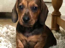 Beautiful miniature dachshund  puppy