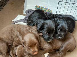 2 beautiful sprocker pups
