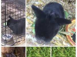 Black mini lop and 2 babies