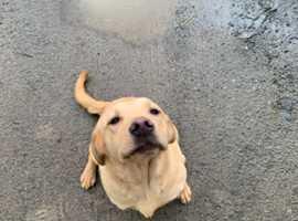 A kc reg golden Labrador bitch