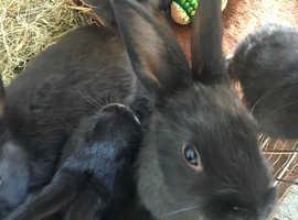 3 female bunnys