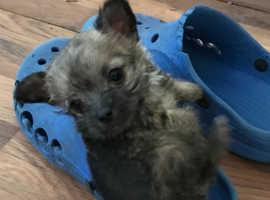 Malchi x chihuahua little girl puppy