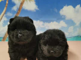 Beautiful kc chowchow puppies (chocolate carriers)