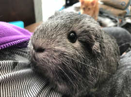 Wanted - Guinea pig - Female