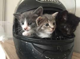 Adorable blue Burmese cross kittens
