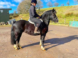 Registered welsh c riding pony