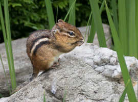 wanted young chipmunks